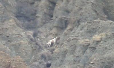 kanyon köpek