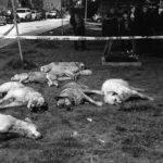 Ankara Batıkent'te Çok Sayıda Sahipsiz Köpek Zehirli Etle Öldürüldü