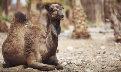 yabani deve avustralya