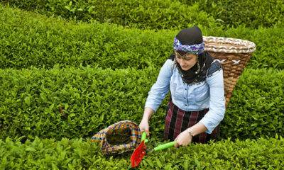 yaş çay üreticileri seyahat
