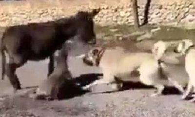ankara sıpa köpek berat kaya