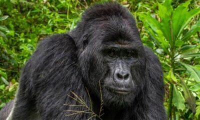 Rafiki goril uganda