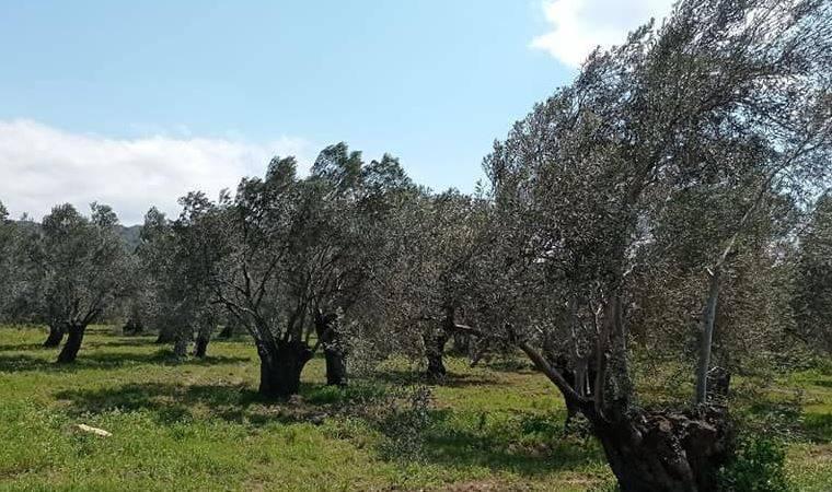 Asırlık Zeytin Ağaçları