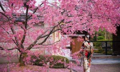 Japon Kiraz Çiçekleri