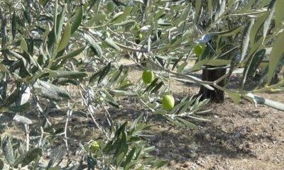 Mücahit Kıvrak edremit zeytin